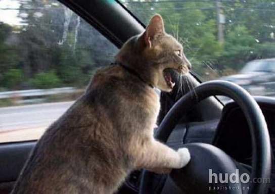 Cats the worst drivers