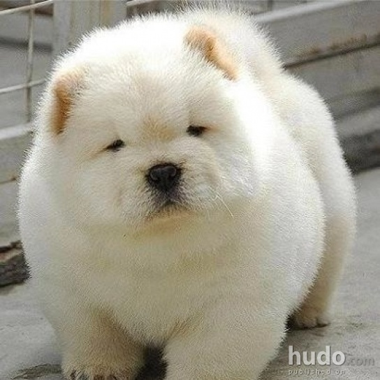 Is this a real puppy    or not  Is this a real puppy    or not  94 4    White Dog That Looks Like A Polar Bear